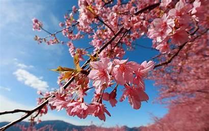 Blossom Cherry Wallpapers Blossoms Desktop Japanese Flowers