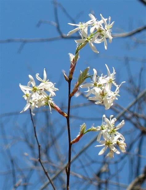 georgia native plants serviceberry  tree