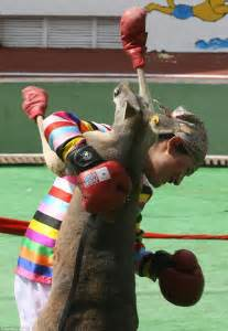 Kangaroos pictured wearing boxing gloves and throwing ...