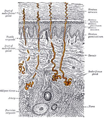 functions   integumentary system boundless anatomy