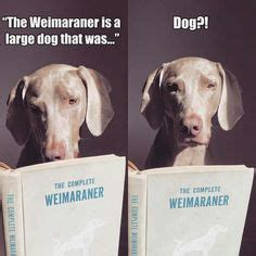 1000 ideas about weimaraner on pinterest william wegman