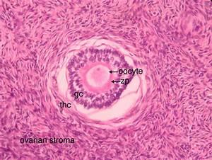 Ovary Slide Labeled Ovum | www.pixshark.com - Images ...