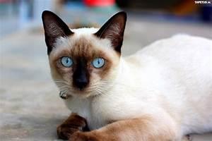 Piękny, Kot, Syjamski, Niebieskie, Oczy