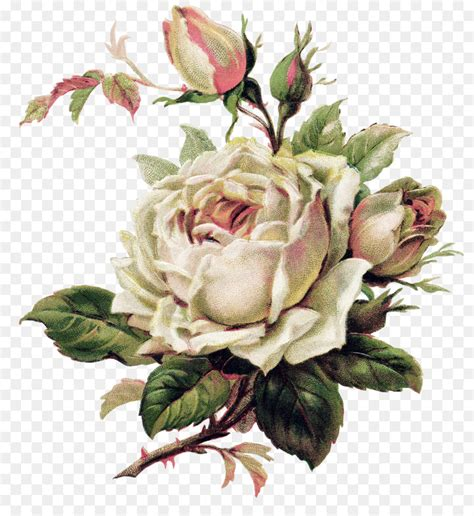 Vintage Roses Beautiful Varieties For Home And Garden