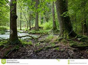 Summer Forest Landscape With Old Trees And Water Royalty ...