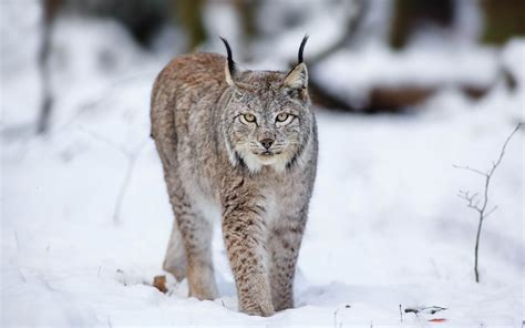 lynx snow wild wolf animals cat winter widescreen animal wallpapers 10wallpaper