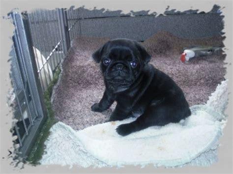 File Ee  Pug Puppies Ee   Black Mops Welpen Schwarz Jpg Wikimedia