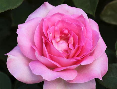 Roses Ecosia