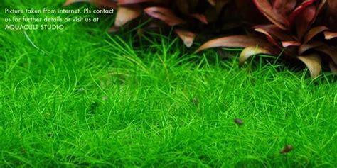Hair Grass Aquascape by Eleocharis Sp Mini Hair Grass 2 Quot Wabi End 1 1 2020 9 15 Am