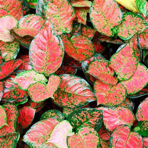Zimmerpflanze Rot Grüne Blätter by Zimmerpflanze Rot Grun