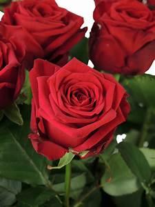 1 Rote Rose Bedeutung : rosen red naomi rot bestellen blumigo ~ Whattoseeinmadrid.com Haus und Dekorationen