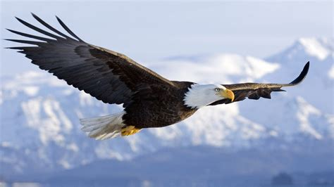 bald eagle  mid air flight  homer spit kenai