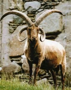 Ram Animal with Long Horns