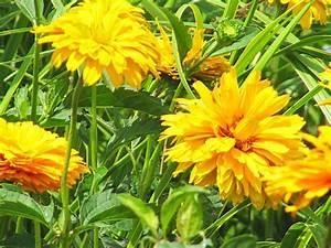 Gelbe Sommerblumen Mehrjährig : juligelb nikki out west ~ Frokenaadalensverden.com Haus und Dekorationen