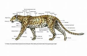 Diagram Of A Leopard