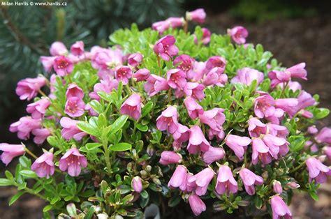 rhododendron campylogynum ssp myrtilloides havliscz