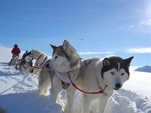 Sled Dog Breeds: Putting A Bit of Traction into Your ...