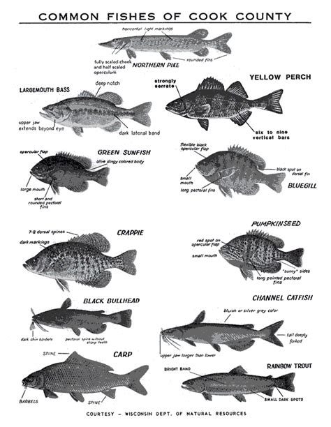 click  view common fishes  cook county ocean