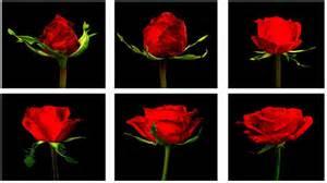 flower glossary roses proflowers