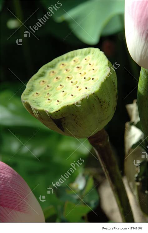 picture  water lily seed pods