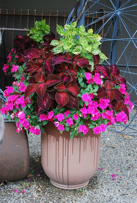 coleus container design 17 best images about coleus in pots on pinterest hedges plants for shade and arizona