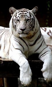 25 Best White Tiger Photographic | White tiger, Tiger ...