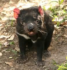 tasmanian devil facts australian marsupials endangered