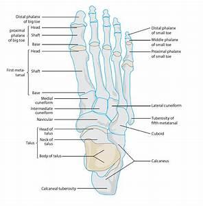 Human Leg And Foot Skeleton Image
