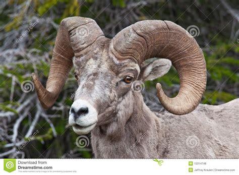 big horn sheep royalty  stock  image