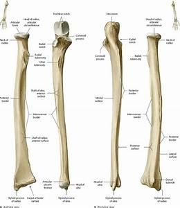 Elbow  U0026 Forearm