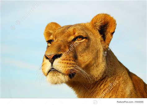 Image Of Lioness