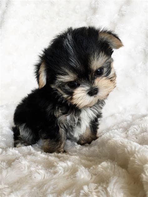 Teacup Morkie Puppy For Sale Iheartteacups