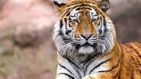 wallpaper tiger wild hd animals  wallpaper