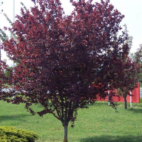 Purple Planter by Prunus Cerasifera Atropurpurea Le Printemps Au Japon