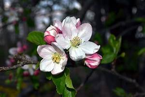 Flowers And Nature In My Garden  Apple Blossoms To Apples