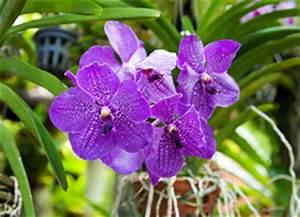 Orchidee Vanda Pflege : vanda orchidee ascocentrum pflege und vermehren ~ Lizthompson.info Haus und Dekorationen