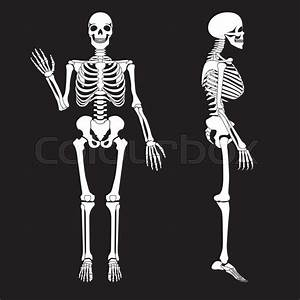 Human Bones Skeleton Silhouette Vector  Anatomy Of Human