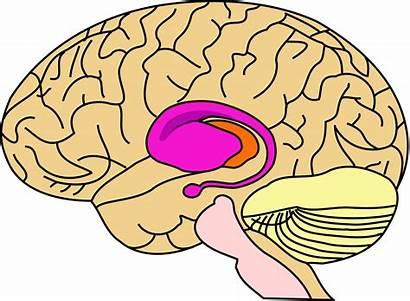 Clipart Psychology Midbrain Transparent Wikipedia Brain Webstockreview