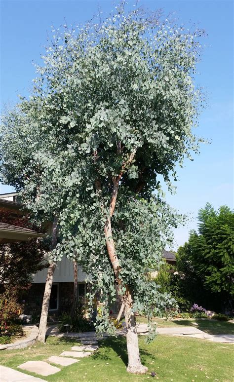 eucalyptus polyanthemos village nurseries wholesale