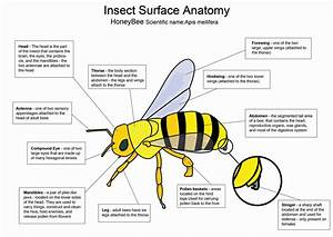 Honey Bee Diagram By Crazyhobo Deviantart Com On