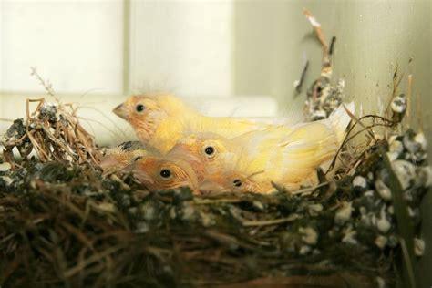 Riproduzione Canarini In Gabbia - canarini riproduzione canarini come si riproducono i