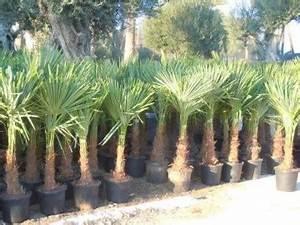 Palmen Kaufen Baumarkt : hanfpalme trachycarpus fortunei ~ Orissabook.com Haus und Dekorationen