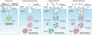 Phagocytosis  Endocytosis  And Receptor Internalization