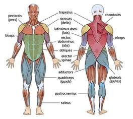 human design chart major muscles groups