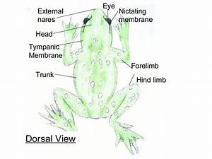 Frog Diagrams