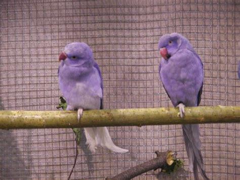 violet indian ringnecks birds pinterest indian cas