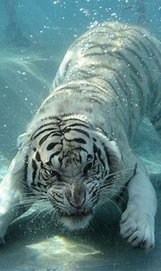 Inspiring 25 Best White Tiger Photographic https ...