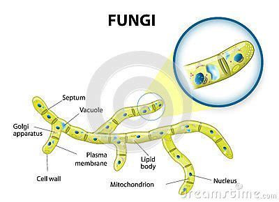 fungi cell stock vector image