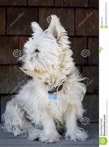 West Highland White Terrier Haircut | westies alice had ...