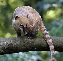 South American coati - Wikipedia